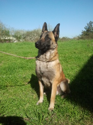 executive protection dogs, malinois, personal protection dogs for sale